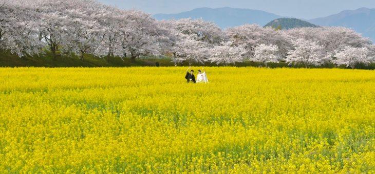 菜の花畑と桜で前撮り