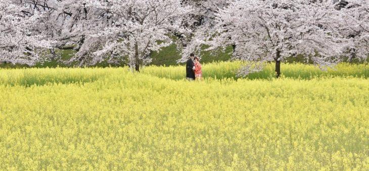 桜と菜の花で前撮り